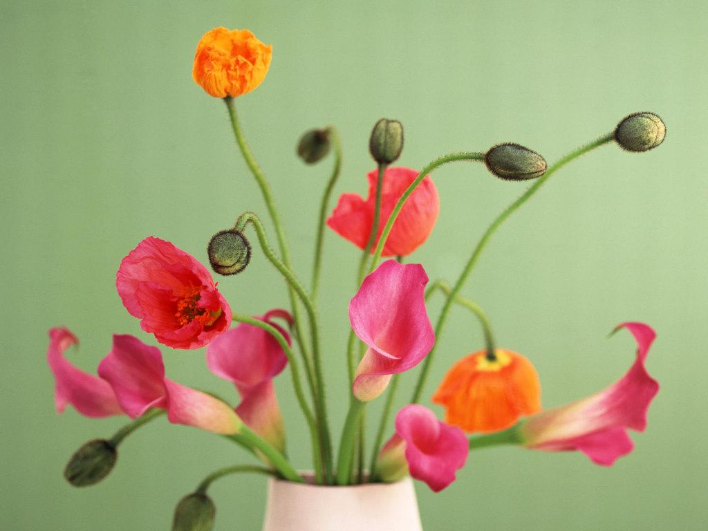 Beautiful Poppy Calla Lily Flower Pictures HD Wallpaper Widescreen Desktop