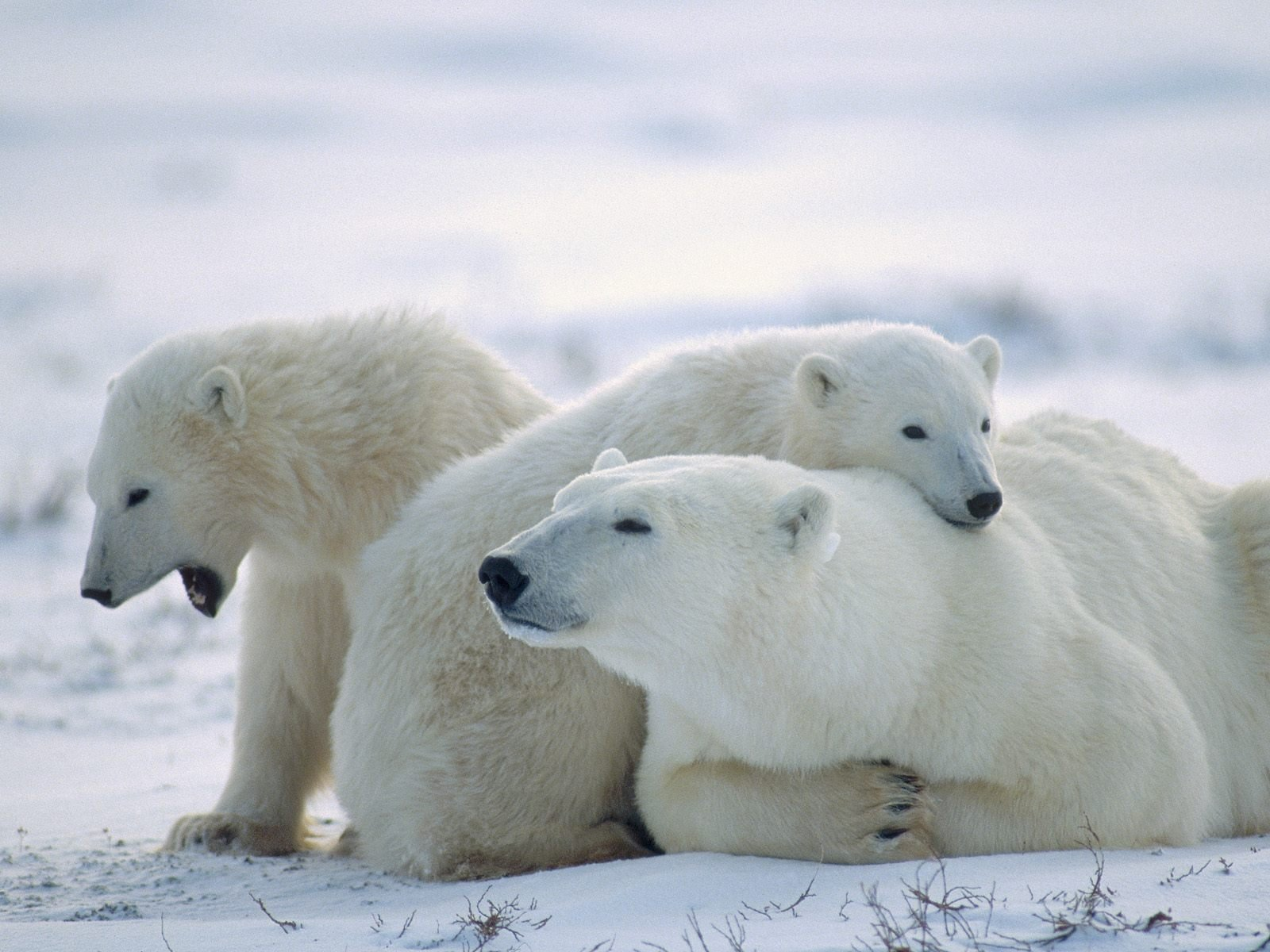 Polar Bears Animal Wallpaper HD Widescreen For Your PC Computer