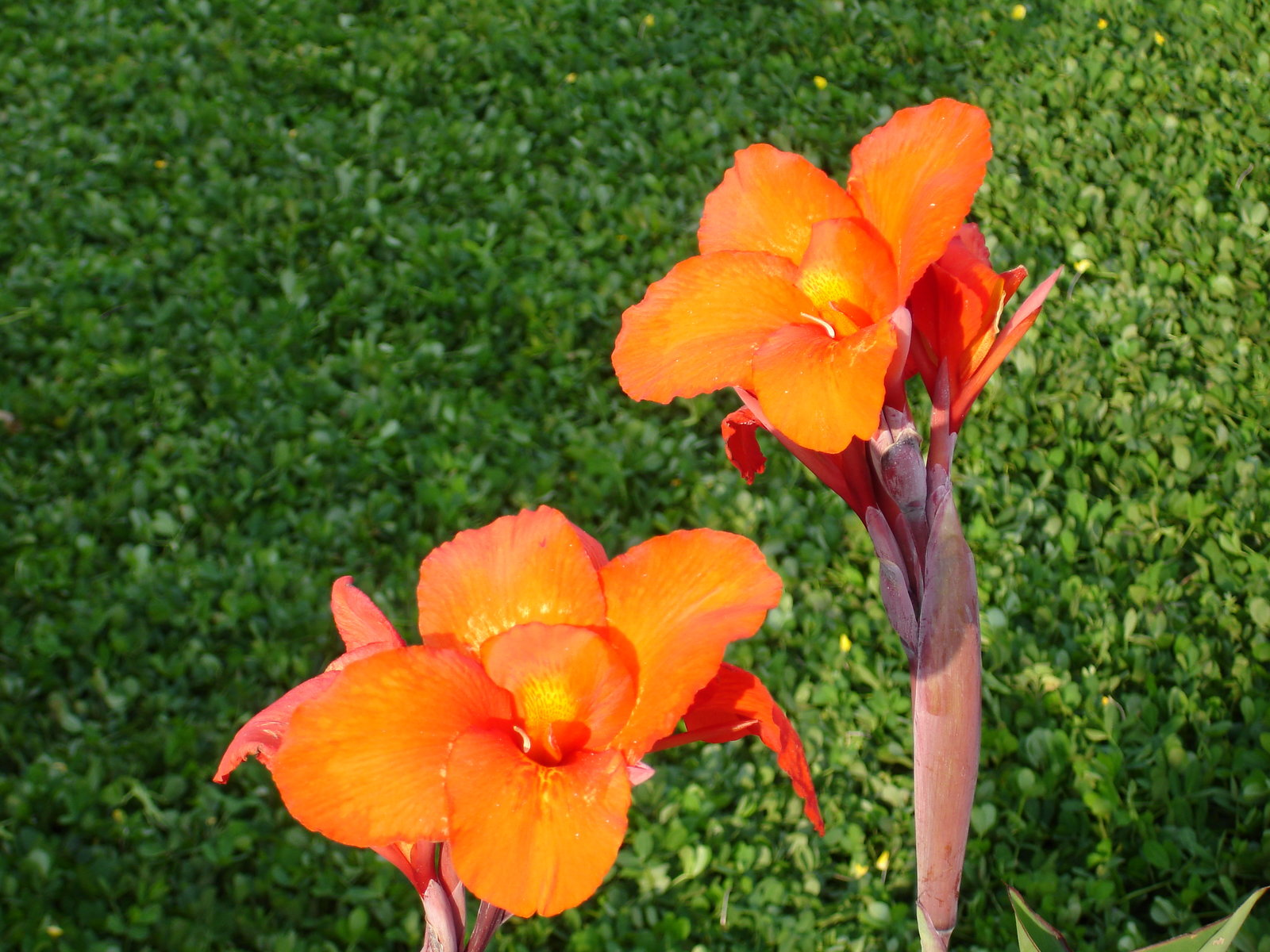 Free Download HD Wallpaper Picture Orange Canna Lily Indica Flower