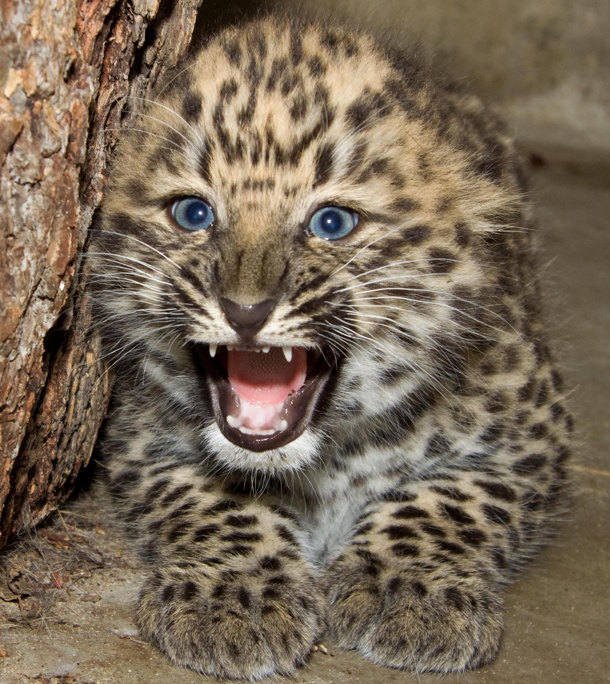 leopard baby animal wallpaper